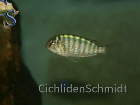Pseudosimochromis curvifrons Isanga