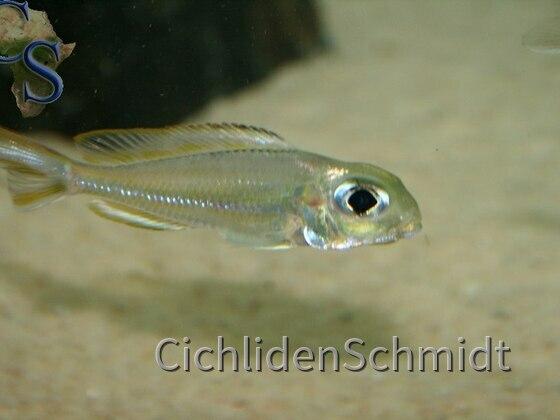 Xenotilapia ornatipinnis burundi