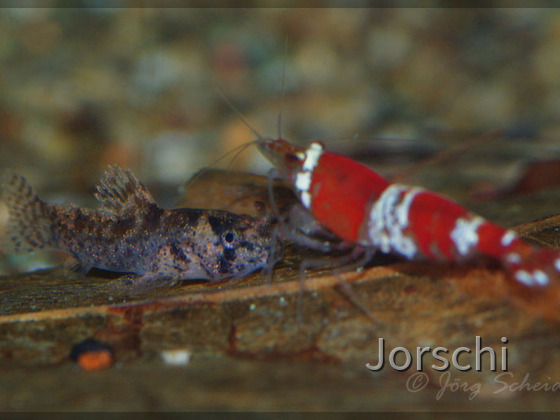 Corydoras boesemani