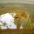 Eischiffchen der Schwarzen Stechmücke