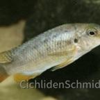 Tropheops red cheek chizumulu