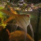 Wundheilung bei Pterophyllum durch Walnusslaub