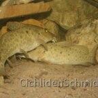 Auchenoglanis tanganicanus