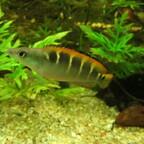Crenicichla compressiceps (Weibchen)