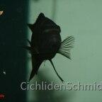 Pseudotropheus crabro