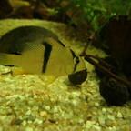 "Guianacara sphenozona (sp. Suriname ""Red Spotted"""