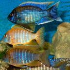 Aulonocara Männchen Gruppe