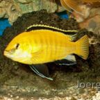 Labidochromis yellow