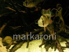 Mikrogeophagus altispinosus sp. Zweifleck WF
