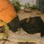 Neolamprologus falcicula cygnus