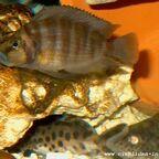 Altolamprologus compressiceps Weibchen