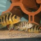 Neolamprologus sexfasciatus Gold