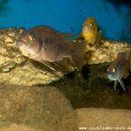 Gephyrochromis moorii Weibchen