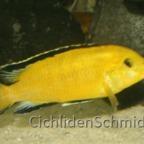 Labidochromis sp. yellow