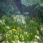 Aquarium mit Cyphotilapia frontosa und Neolamprologus leleupi