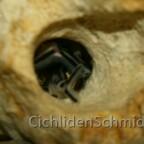 Synodontis petricola