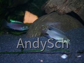 Enigmatochromis lucanusi