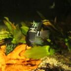 Amatitlania nigrofasciata - Der Grünflossenbuntbarsch (Männchen)