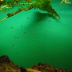 Melanotaenia boesemani Jungfische