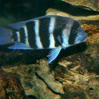 juveniler Cyphotilapia frontosa