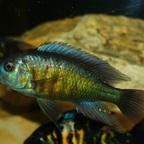 Lipochromis melanopterus Makobe
