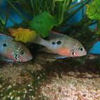 Thorichthys maculipinnis (rechts das Weibchen)