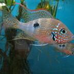 Thorichthys maculipinnis (T. ellioti)